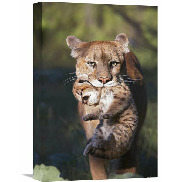 Nature Photographs Mountain Lion Mother Carrying Cub in Her Mouth, North America by Tim Fitzharris Photographic Print on Wrapped Canvas by Global Gallery