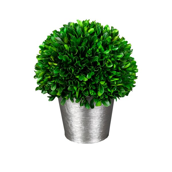 Holiday Desktop Boxwood Plant by Wrought Studio