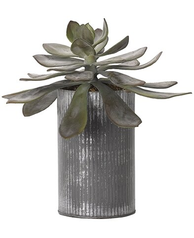 Frosted Echeveria Desktop Succulent Plant in Planter by Williston Forge