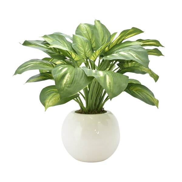 Hosta Floor Foliage Plant in Pot by Latitude Run