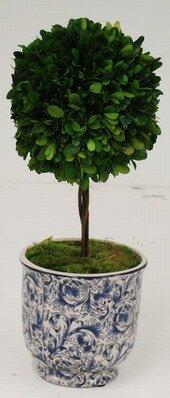 Preserved Desktop Boxwood Topiary in Vase by Red Barrel Studio