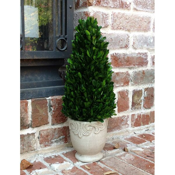 Boxwood Cone Topiary in Footed Pot by Flora Decor