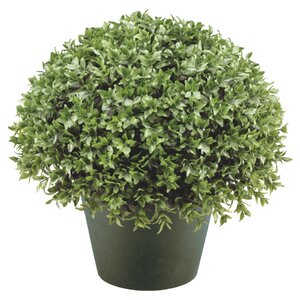 Japanese Holly Globe Bush Desk Top Plant in Pot
