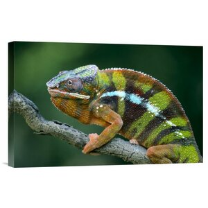 'Panther Chameleon Male' Photographic Print on Canvas by East Urban Home