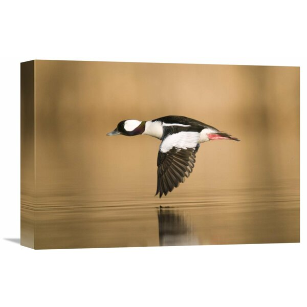 Nature Photographs Bufflehead Male Flying, Island Lake Recreation Area, Michigan by Steve Gettle Photographic Print on Wrapped Canvas by Global Gallery
