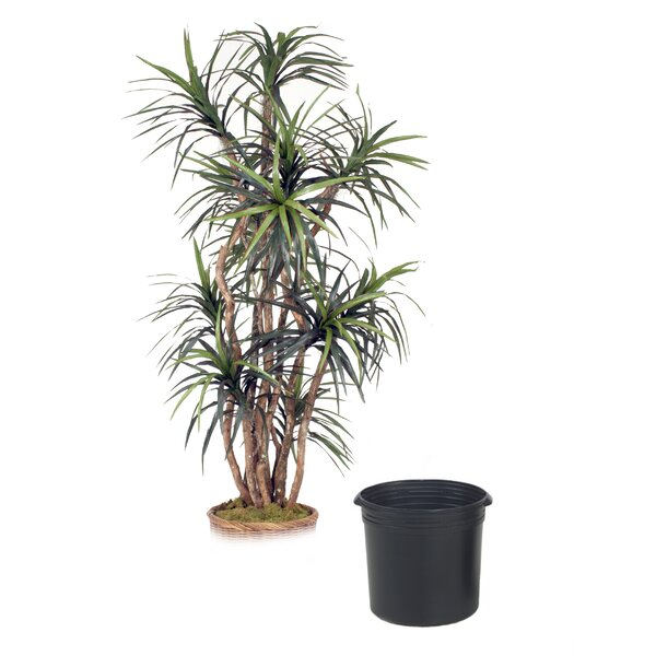 Dracaena Tree in Planter by Distinctive Designs