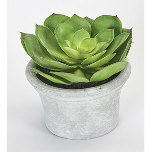 Echeveria Succulent Plant in Pot