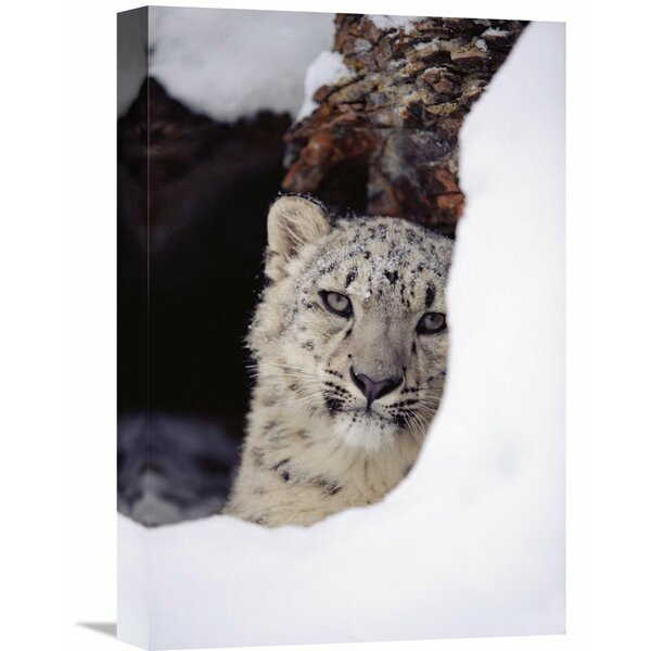 Nature Photographs Snow Leopard Adult, Looking Out From Behind A Snowbank by Tim Fitzharris Photographic Print on Wrapped Canvas by Global Gallery