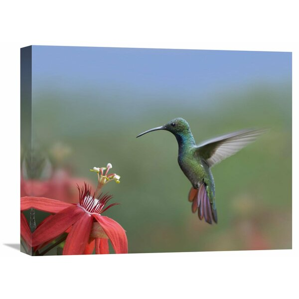 Nature Photographs Green-breasted Mango Hummingbird Male Foraging Costa Rica by Tim Fitzharris Photographic Print on Wrapped Canvas by Global Gallery