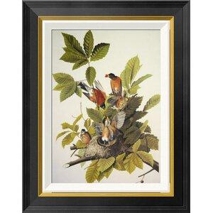 'American Robin' by John James Audubon Framed Graphic Art by Global Gallery