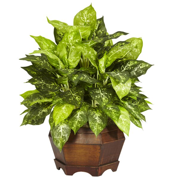 Variegated Dieffenbachia Desk Top Plant in Planter by World Menagerie