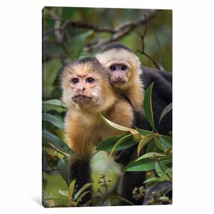 'White -Throated Capuchin Monkeys, Tortuguero, Limon Province, Costa Rica' Photographic Print on Wrapped Canvas by East Urban Home