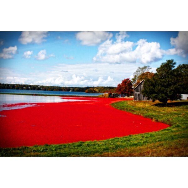 Cranberry Bog by Jobe Waters Photographic Print on Wrapped Canvas by Buy Art For Less