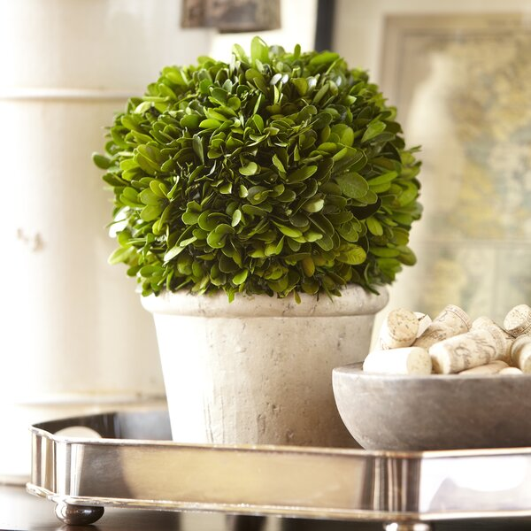 Round Preserved Boxwood Topiary by Birch Lane™