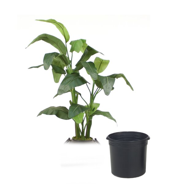 Musa Red Banana Tree in Planter by Distinctive Designs