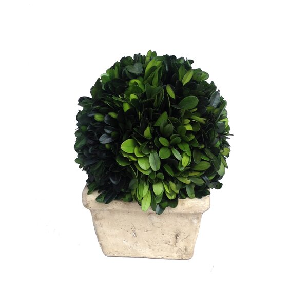 Boxwood Ball Desk Top Plant in Planter by Mills Floral
