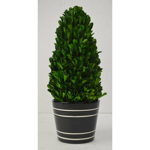 Tower Boxwood Topiary in Pot by GT DIRECT CORP