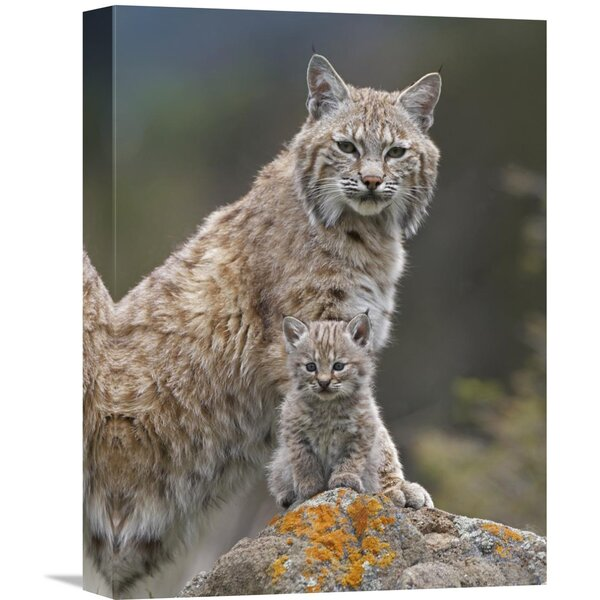 Nature Photographs Bobcat Mother and Kitten, North America by Tim Fitzharris Photographic Print on Canvas by Global Gallery