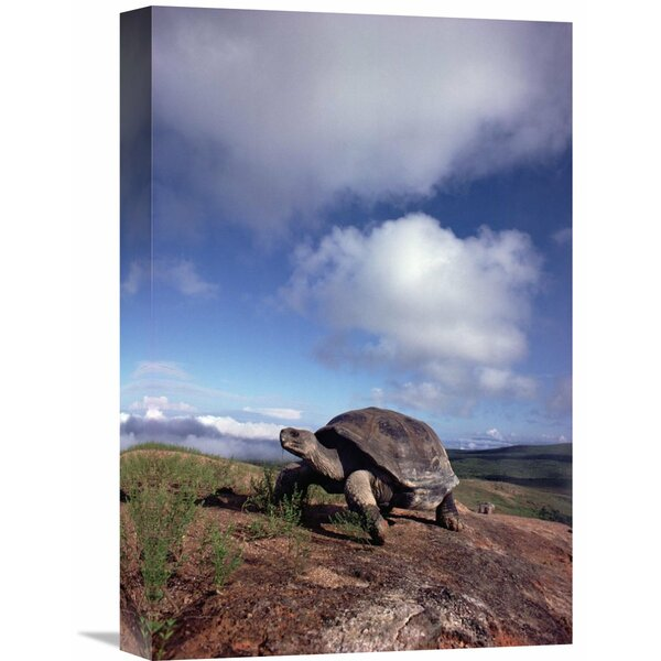 Nature Photographs alapagos Tortoise on Caldera Rim, Alcedo Volcano, Isabella Island, Galapagos Islands, Ecuador by Tui De Roy Photographic Print on Wrapped Canvas by Global Gallery
