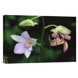 'Orchid Mantis Female Mimicking a Pink Flower' Photographic Print on Canvas by East Urban Home