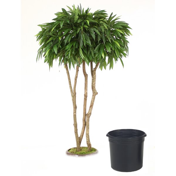 Mango Canopy Tree in Planter by Distinctive Designs