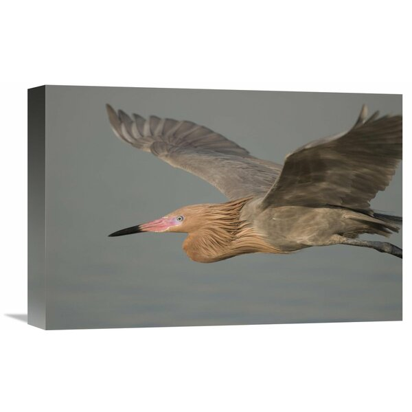Nature Photographs Reddish Egret Flying, Fort Desoto Park, Florida by Steve Gettle Photographic Print on Wrapped Canvas by Global Gallery