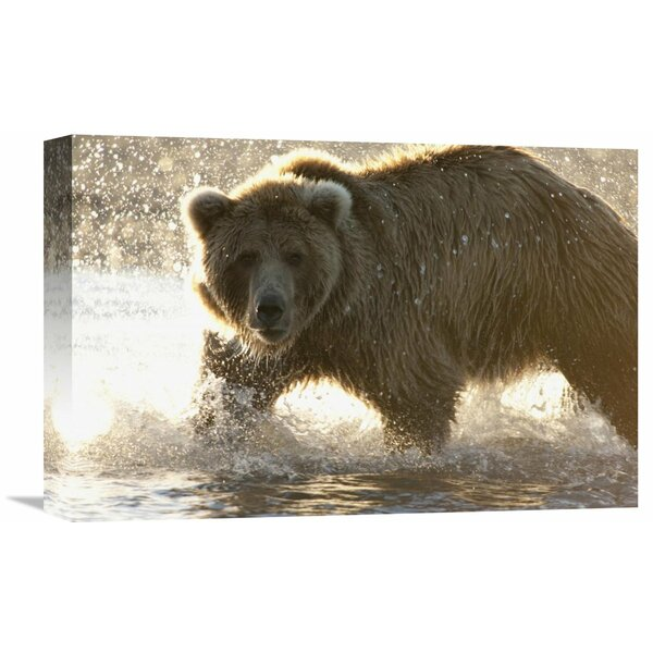 Nature Photographs Grizzly Bear Foraging for Salmon in Stream, Katmai National Park, Alaska by Matthias Breiter Photographic Print on Wrapped Canvas by Global Gallery
