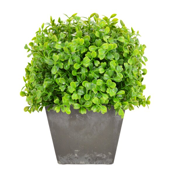 Boxwood Square Tapered Hedge in Pot by Gracie Oaks