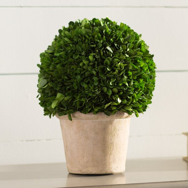 Preserved Greens Ball Boxwood Topiary in Pot by Lark Manor