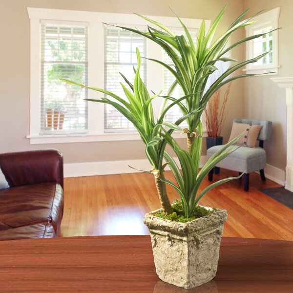 Yucca Succulent Plant in Pot by National Tree Co.