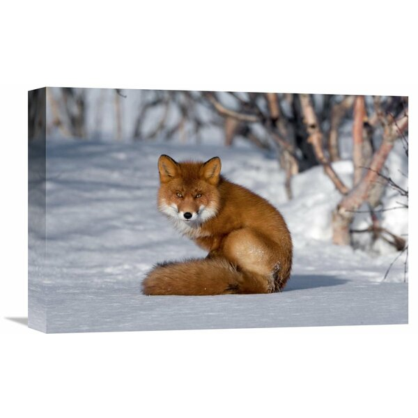 Nature Photographs Red Fox Sitting On Snow, Kamchatka, Russia by Sergey Gorshkov Photographic Print on Wrapped Canvas by Global Gallery