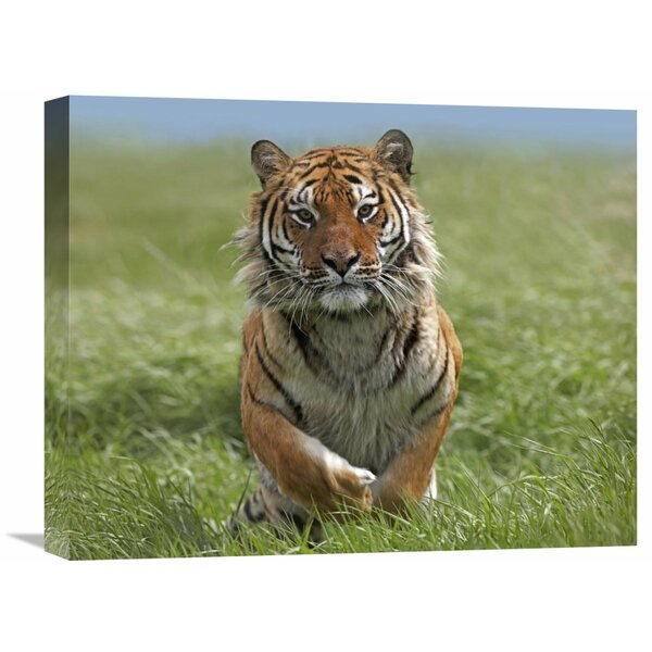 Nature Photographs Siberian Tiger Running, Native to Russia by Tim Fitzharris Photographic Print on Canvas by Global Gallery