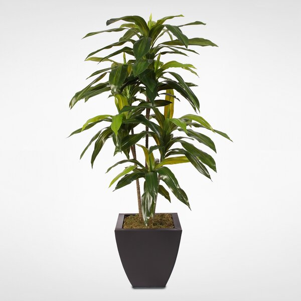 Floor Dracaena Massangeana Tree in Pot by Latitude Run