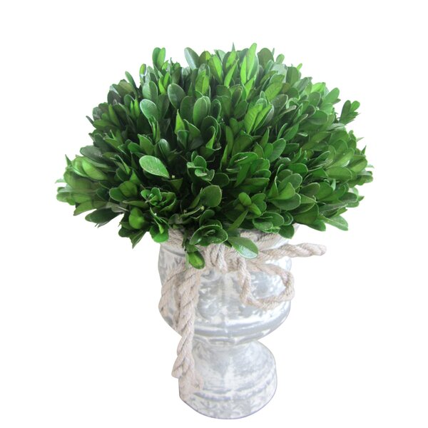 Preserved Boxwood Topiary in Urn by Jeco Inc.