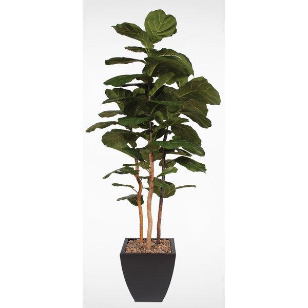 Brazilian Fiddle Leaf Fig Tree in Planter by Corrigan Studio