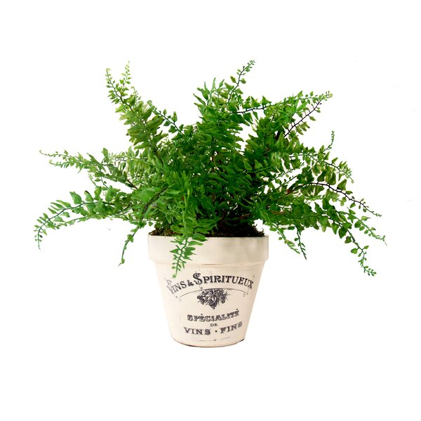 Curly Fern Desk Top Plant in Planter by Lark Manor