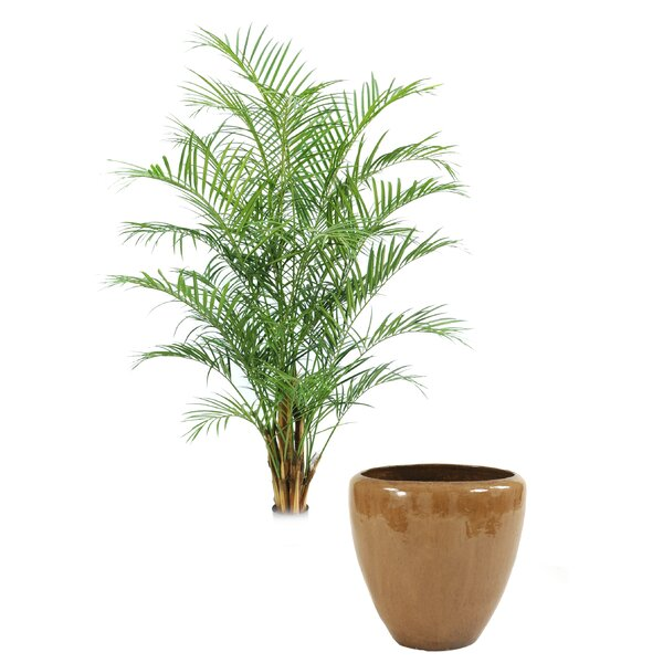 Areca Palm Tree in Planter by Distinctive Designs