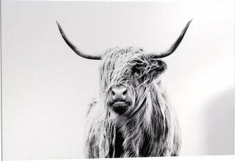 Mercury Row Portrait Of A Highland Cow Photographic