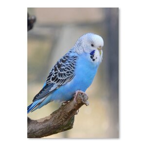 'Blue Budgie Bird Parrot' Photographic Print