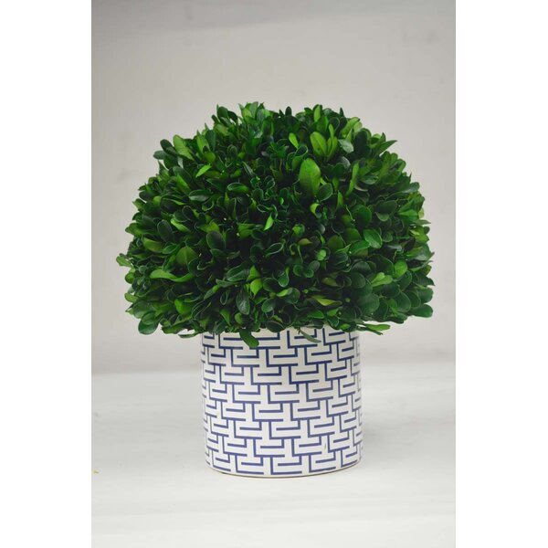 Desktop Boxwood Topiary in Planter by GT DIRECT CO