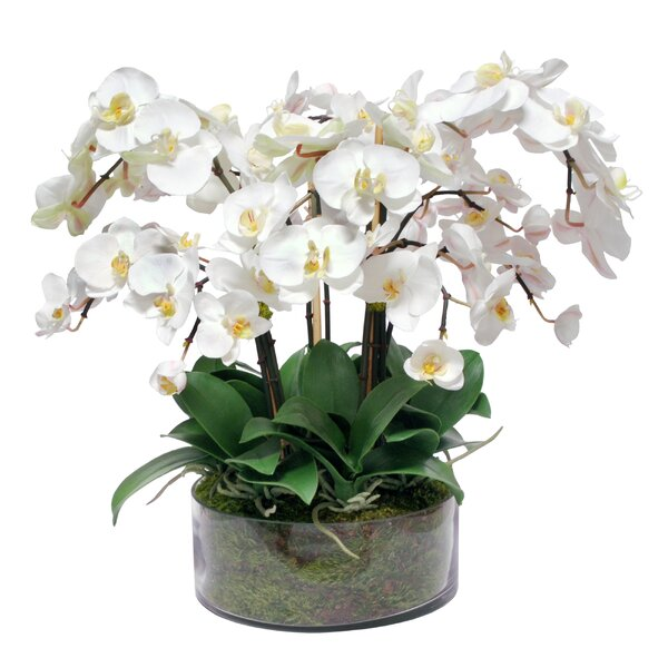 Phalaenopsis Orchid Centerpiece in Open Cylinder by Bloomsbury Market