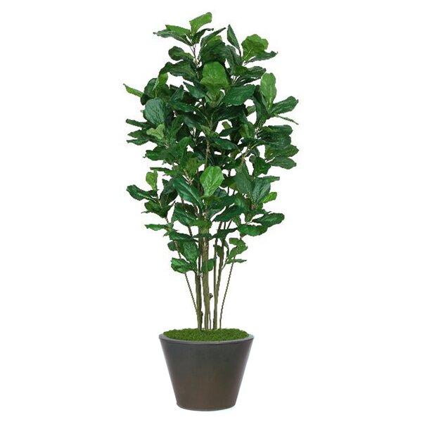 Fiddle Tree in Planter by Darby Home Co