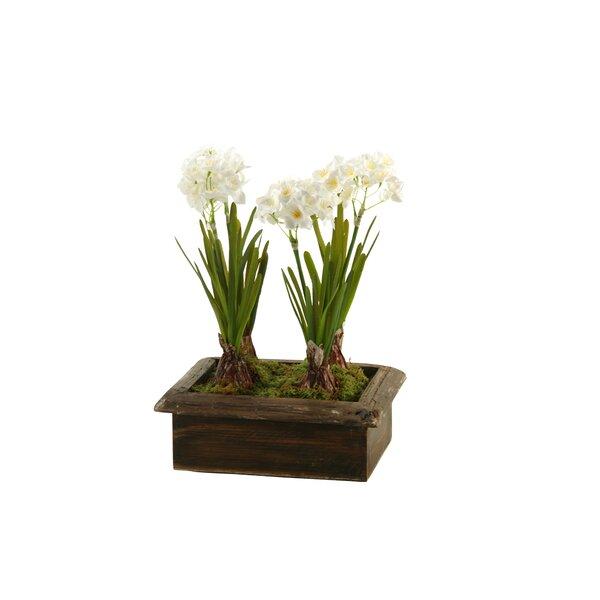 Paperwhite Flower in Planter by Latitude Run
