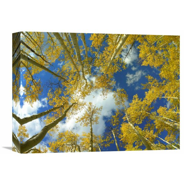 Nature Photographs Looking up at Blue Sky Through a Canopy of Fall Colored Aspen Trees, Colorado Photographic Print on Wrapped Canvas by Global Gallery