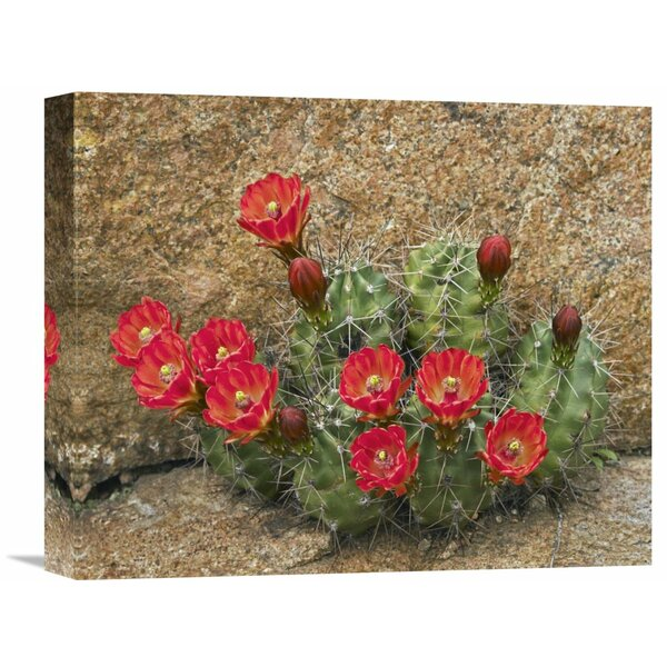 Nature Photographs Claret Cup Cactus Flowering, Utah by Tim Fitzharris Photographic Print on Wrapped Canvas by Global Gallery