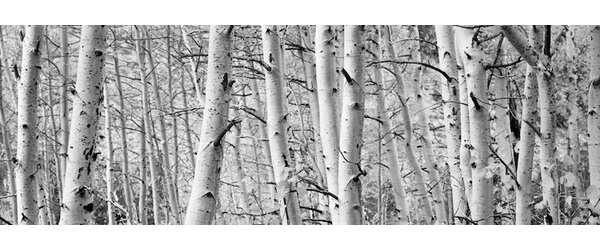 Aspen Trees in a Forest Wall Art on Wrapped Canvas by Loon Peak