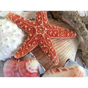 General Coastal 'Coral Starfish and Shells' Photographic Print on Wrapped Canvas by Graffitee Studios