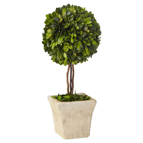 Boxwood Topiary in Pot by Lark Manor