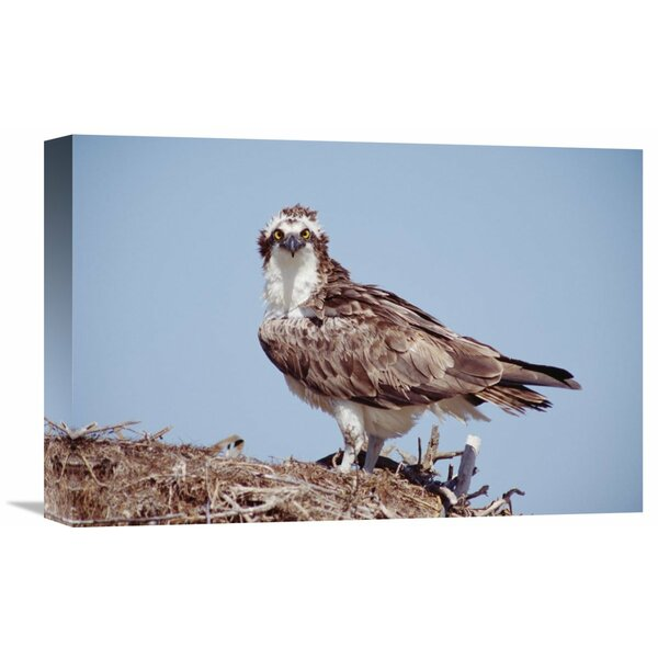 Nature Photographs Osprey Adult Perching on Nest, Baja California, Mexico by Tim Fitzharris Photographic Print on Wrapped Canvas by Global Gallery