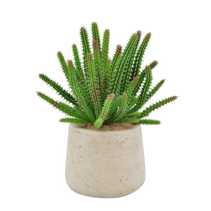 Ivy Bronx Euphorbia Desktop Succulent Plant In Pot Wayfair